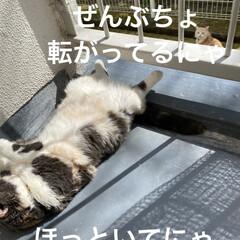 お友達/黒猫ちゃん/ベランダ/日焼け/こむぎ/せん/... お天気☀️.°良くなり せんぶっちょのマ…(2枚目)