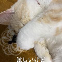 可愛いにゃ/動物大好き/猫大好き/こむぎ課長/せんぶちょ おはようございます(´∀`*) せんぶち…(4枚目)