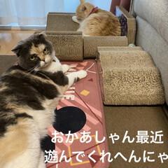 動物大好き/猫大好き/スコティッシュフォールド/毎日の行事/ケンカ/バトル/... おはようございます♡ 今朝も相変わらず(…