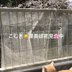花見/桜🌸/フォロー大歓迎/ペット/猫 部長は💤 課長は🌸👀