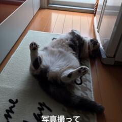 猫/こむぎ/せん/ゴロゴロ/いつもの体制/スコティッシュフォールド/... おはようございます☀ 今朝もお邪魔な場所…(5枚目)