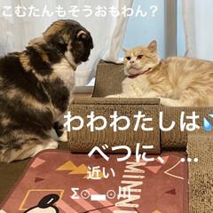 動物大好き/猫大好き/スコティッシュフォールド/毎日の行事/ケンカ/バトル/... おはようございます♡ 今朝も相変わらず(…(2枚目)