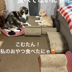 動物大好き/猫大好き/おやつ/ケンカ/せんぶちょ/こむぎ/... こんにちは(*´∇`) ニャンズの会話🗯…