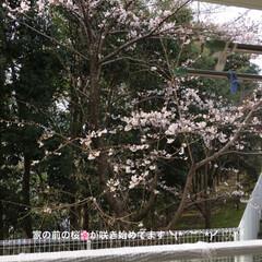 桜🌸/フォロー大歓迎/ペット/ペット仲間募集/猫 ベランダ前の桜🌸🌸🌸が咲き始めました 前…