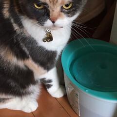 猫/スコティッシュフォールド/モミモミ/水/こむぎ/せん/... おはようございます☁️☀️ 今朝はまだ撫…