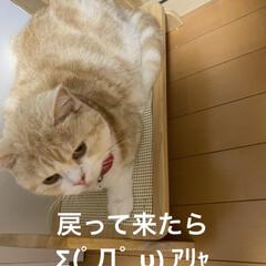 ご飯のせる台/動物大好き/猫大好き/スコティッシュフォールド/こむぎ/せんぶちょ おはようございます(*´∇`*)  ∑(…(2枚目)