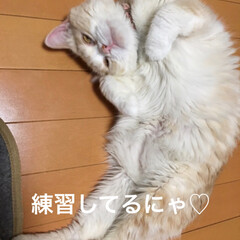寝る/盆踊りの練習/スコティッシュフォールド立ち耳/スコティッシュフォールド折れ耳/こむぎ課長/せん部長/... おはようございます😃 今朝も寝ながら❣️…(5枚目)