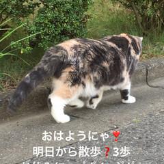 早朝/猫/散歩短い/散歩/せん部長/こむぎ課長/... おはようございます☀ 明日から散歩❣️3…