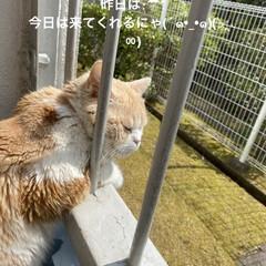 花/お友達待ち?/あじさい/桜/スコテッシュフォールド おはようございます(≧∇≦)/ 昨日は雨…(5枚目)