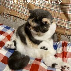 テレビ観てる?/猫大好き/スコティッシュフォールド/せん おはようございます٩(*´꒳`*)۶ 最…