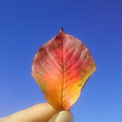 コンロ専用パネル/秋/枯れ葉/落ち葉/イロドリ/彩/...       ~空高く青し秋。~     …