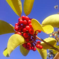 コンロ専用パネル/秋/キッチン大好き/赤い実/油跳ね防止パネル ~赤と黄と青。~   「なんかうまそ~。…