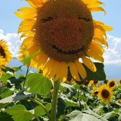 夏/夏休み/おでかけ 今年も一面のひまわり畑に行ってきました。…
