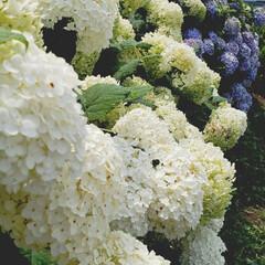 フラワー 一輪だけでも頂きたい程、綺麗な紫陽花!ド…