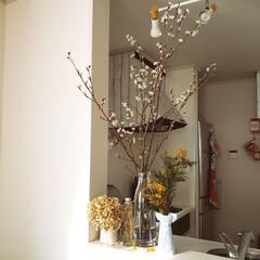 キッチン/桜/春/インテリア/住まい/雑貨だいすき もうすぐ春ですね♪ 桜を飾ってお部屋の中…