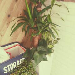観葉植物 お買得にGET どこに置こうかなぁ⁉ 結…