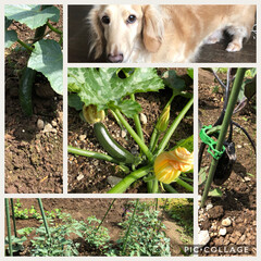 家庭菜園/ガーデニング/住まい/ペット 実家の畑に植えた苗が実をつけて来ましたぁ…