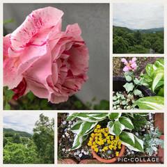 景色/ガーデニング 庭の薔薇🌹が咲いて来ましたぁー 多肉さん…