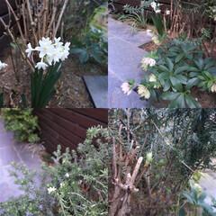 ガーデニング/庭/小さな庭/クリスマスローズ 小さな裏庭では、植えたのを忘れていた球根…