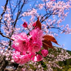 春のフォト投稿キャンペーン/ありがとう平成/令和カウントダウン/フォロー大歓迎/LIMIAファンクラブ/春/... 里山の桜🌸です😊東北はまだ咲いてますねー!(1枚目)