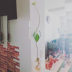 生活/水栽培/観葉植物/アボカド/緑/植物/... 我が家のアボカドちゃん 水栽培なのに、予…