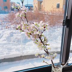 暮らし/緑/リビング/部屋/雪/冬/... 先日買った桜の枝は、全部ツボミだったので…