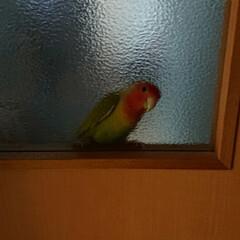 小桜インコ/フォロー大歓迎/LIMIAペット同好会/うちの子ベストショット お風呂行く為リビングから出たらドアに、し…(4枚目)