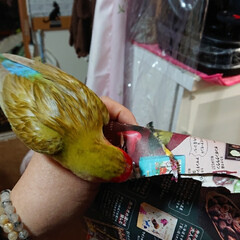 インコの居る暮らし/フォロー大歓迎/紙切り/シナモン/小桜インコ 一生懸命紙切りして羽に付けてたけど全部取…(2枚目)