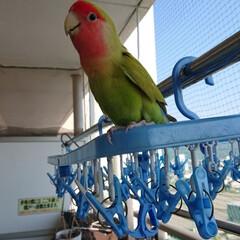 フォロー大歓迎/シナモン/小桜インコ 今日は、天気が良くて気持ち良い🐥