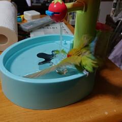 インコ/水浴び/ペット やっと届きました😊(4枚目)