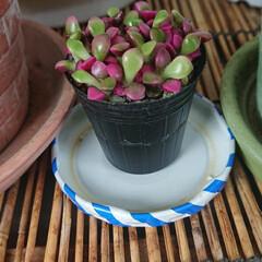 桜吹雪/多肉植物/フォロー大歓迎 一目惚れ✨😍✨した多肉植物の桜吹雪ちゃん…