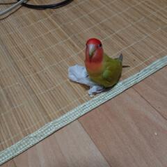 小桜インコ/ペット/うちの子自慢 ティッシュで遊んでる所をパシリ📷