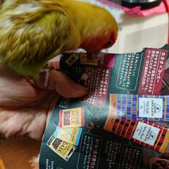 インコの居る暮らし/フォロー大歓迎/紙切り/シナモン/小桜インコ 一生懸命紙切りして羽に付けてたけど全部取…
