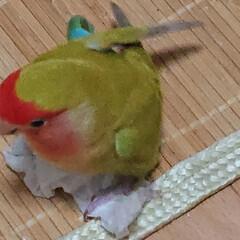 小桜インコ/ペット/うちの子自慢 ティッシュで遊んでる所をパシリ📷(2枚目)