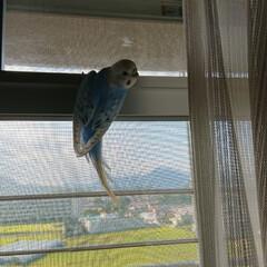 インコの居る暮らし/パール/セキセイインコ/フォロー大歓迎 朝から何故だか?パールが窓に(笑)(1枚目)