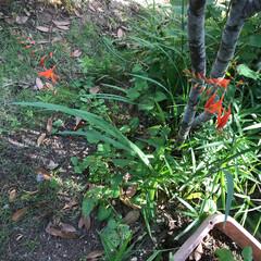 ガーデン ジューンベリーの根元にエビネの蘭が 咲き…