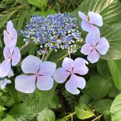 梅雨 今日は梅雨の晴れ間ですね うちは額紫陽花…