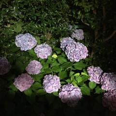 梅雨 ちょっと惜しいコントラストですが夜の紫陽…