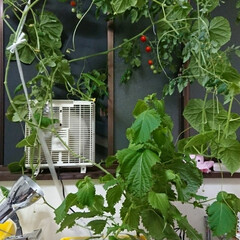家庭菜園/水耕栽培 我が家の水耕栽培  想像を遥かに越える成…