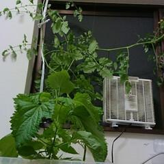ミニトマト/大葉/きゅうり/水耕栽培 色々カオスな水耕栽培 こんなに育つとは思…