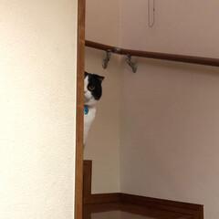 スコティッシュフォールド/猫 物陰から視線が!