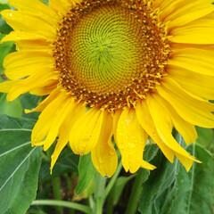 朝顔/ヒマワリ 我が家一番咲きヒマワリ✨ 狭い花壇にミチ…