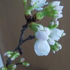 寒い/雪/桜 今朝起きたら雪が…((+_+)) 外とは…