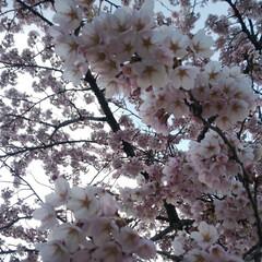 久保桜/ソメイヨシノ/満開/桜 3密を回避するために早朝に桜撮影🌸 みん…