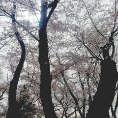 打倒コロナ/満開/桜 満開です✨ドライブお花見でがまんがまん……