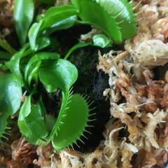 初めての食虫植物/食虫植物/ハエトリグサ 新しい子が増えました✨ ハエトリグサです…