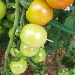 もうすぐ収穫/小さな花壇/色付き/ミニトマト 花壇のミニトマトが赤くなってきました✨ …(1枚目)