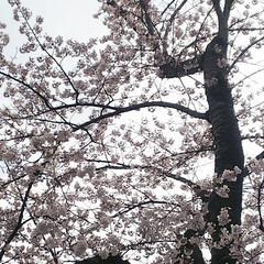 打倒コロナ/満開/桜 満開です✨ドライブお花見でがまんがまん……(2枚目)