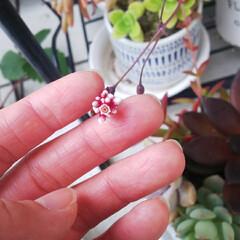 花/鉢植えガーデニング/多肉植物/火祭り? 火祭り?の花も咲きました~✨ つぼみ?っ…