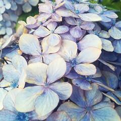 紫陽花の花/紫陽花/雨季ウキフォト投稿キャンペーン/おでかけ 近所の公園に私の背丈程ある立派な紫陽花が…